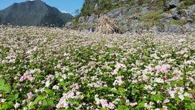 Giacimento del grano saraceno del fiore Fotografie Stock Libere da Diritti
