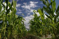 Giacimento del granoturco dolce Fotografia Stock Libera da Diritti