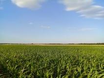 Giacimento del mais del cereale con il fondo del giacimento di grano Fotografie Stock Libere da Diritti