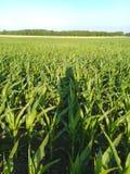 Giacimento del mais del cereale e la mia ombra Fotografia Stock Libera da Diritti