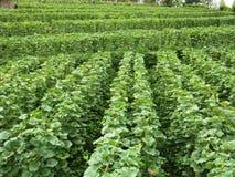 Giacimento del melone di agricoltura Immagini Stock Libere da Diritti