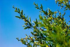 Giacimento del pisello arboreo, azienda agricola indiana, fotografia stock libera da diritti