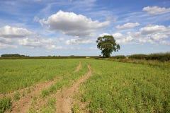 Giacimento del pisello dei wolds di Yorkshire ed albero di cenere Fotografia Stock Libera da Diritti