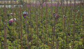 Giacimento del pomodoro Fotografia Stock Libera da Diritti