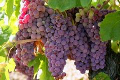 Giacimento del pompelmo di colore rosso di vino di agricoltura Immagini Stock