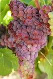 Giacimento del pompelmo di colore rosso di vino di agricoltura Immagini Stock Libere da Diritti
