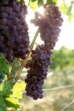 Giacimento del pompelmo di colore rosso di vino di agricoltura Fotografia Stock Libera da Diritti
