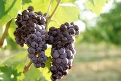 Giacimento del pompelmo di colore rosso di vino di agricoltura Fotografia Stock