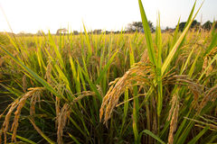Giacimento del riso immagini stock libere da diritti