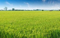 Giacimento del riso Fotografie Stock Libere da Diritti