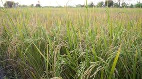 Giacimento del riso Fotografia Stock Libera da Diritti