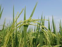 Giacimento del riso Fotografie Stock
