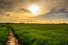 Giacimento del riso Fotografia Stock