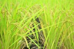 Giacimento del riso Immagini Stock