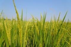 Giacimento del riso Agricoltura tailandese Immagini Stock