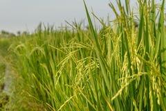 Giacimento del riso Agricoltura tailandese Fotografia Stock