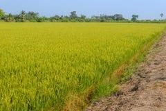 Giacimento del riso Agricoltura tailandese Fotografie Stock Libere da Diritti