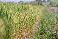 Giacimento del riso Agricoltura tailandese Fotografie Stock