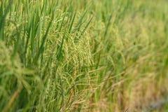 Giacimento del riso Agricoltura tailandese Immagini Stock Libere da Diritti