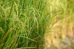 Giacimento del riso Agricoltura tailandese Fotografia Stock Libera da Diritti