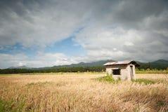 Giacimento del riso al lobo, Batagans, Filippine Fotografie Stock