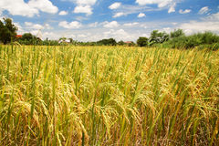 Giacimento del riso al raccolto per industria di agricoltura Immagine Stock