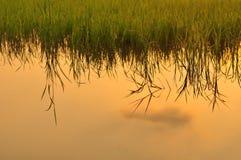 Giacimento del riso al tramonto Immagini Stock