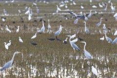 Giacimento del riso in Albufera di Valencia in pieno degli uccelli un giorno di lavorazione al tramonto immagine stock