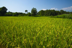 Giacimento del riso appiccicoso Immagini Stock