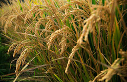 Giacimento del riso in autunno immagine stock
