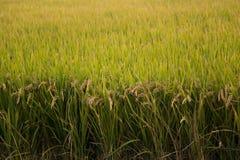 Giacimento del riso in autunno fotografie stock