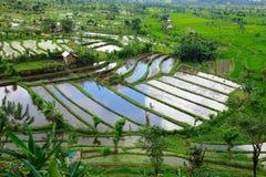 Giacimento del riso in Bali Fotografie Stock Libere da Diritti
