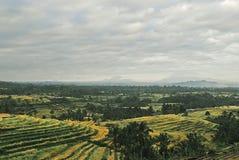 Giacimento del riso a Bali Immagine Stock