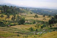 Giacimento del riso a Bali Fotografie Stock Libere da Diritti