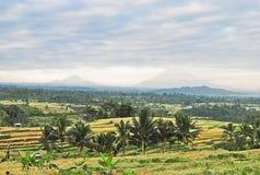 Giacimento del riso a Bali Fotografia Stock