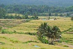 Giacimento del riso a Bali Immagine Stock Libera da Diritti