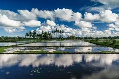 Giacimento del riso in Bali Fotografia Stock