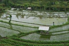 Giacimento del riso in Bali, Indonesia fotografia stock libera da diritti