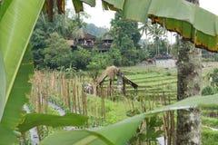 Giacimento del riso in Bali, Indonesia Immagini Stock