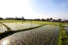 Giacimento del riso. Bali, Indonesia Fotografia Stock Libera da Diritti