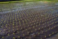 Giacimento del riso. Bali, Indonesia Immagine Stock