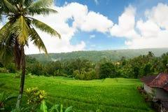 Giacimento del riso. Bali, Indonesia Fotografia Stock