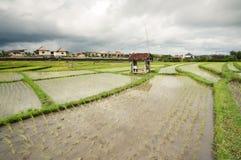Giacimento del riso. Bali, Indonesia Immagini Stock