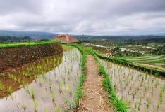 Giacimento del riso in Bali Indonesia Immagine Stock Libera da Diritti