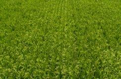 Giacimento del riso in campagna asiatica fotografie stock