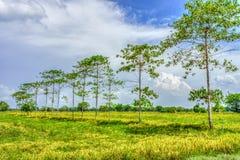 Giacimento del riso in campagna della Tailandia Immagine Stock