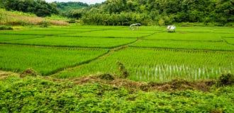 Giacimento del riso, Chiang Mai Fotografie Stock Libere da Diritti
