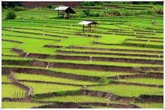 Giacimento del riso in Chiangmai Immagine Stock Libera da Diritti