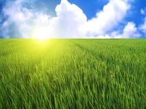 Giacimento del riso in cielo blu Immagine Stock Libera da Diritti