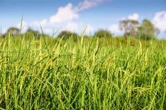 Giacimento del riso con chiaro cielo blu Fotografia Stock